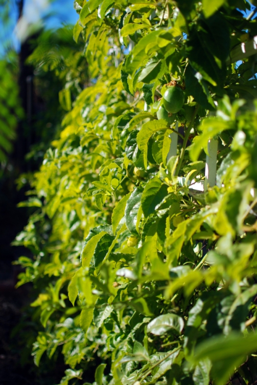 What Will I Look Like When I Grow Up >> Passion fruit vine as a natural privacy fence | Mind Your Dirt