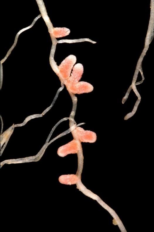Legume Root Nodules
