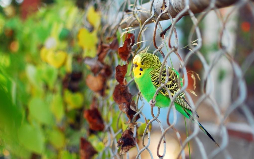 Bill the Parakeet