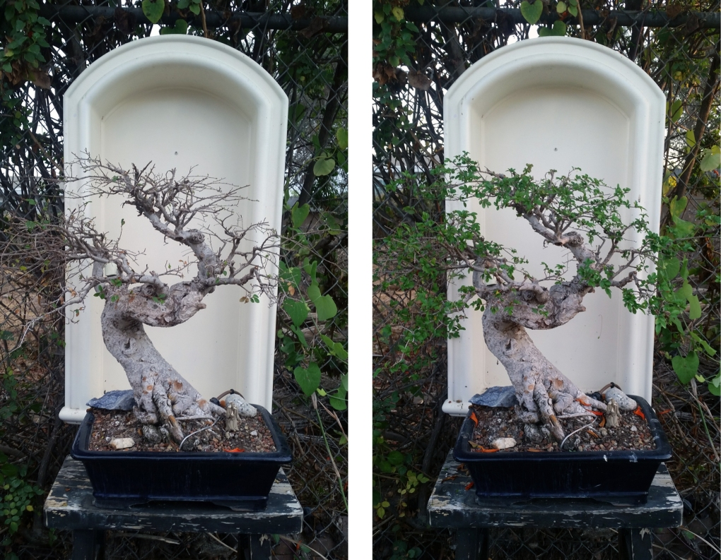 Refoliated Bonsai
