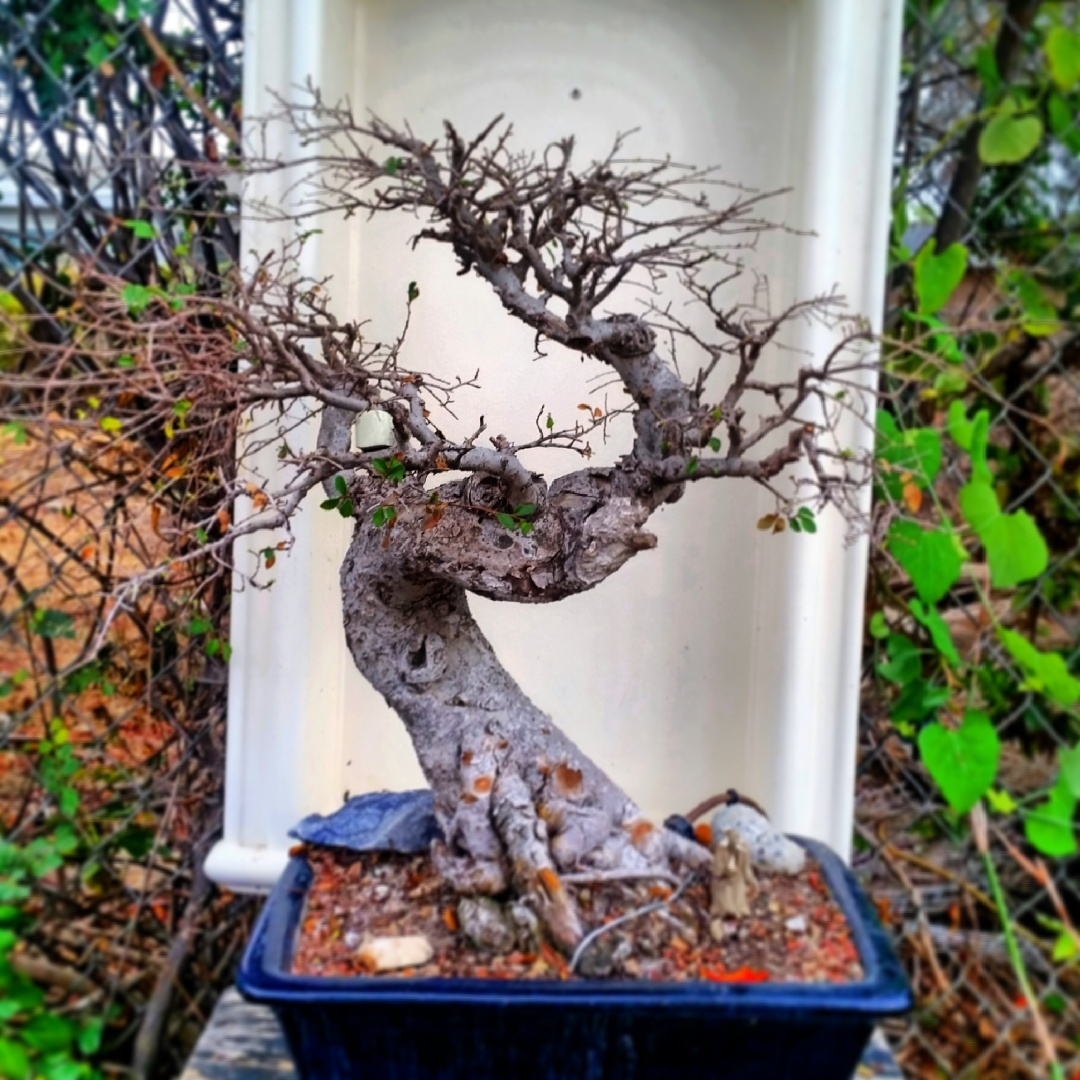 A Freshly Trimmed And Defoliated Chinese Elm Bonsai Mind Your Dirt