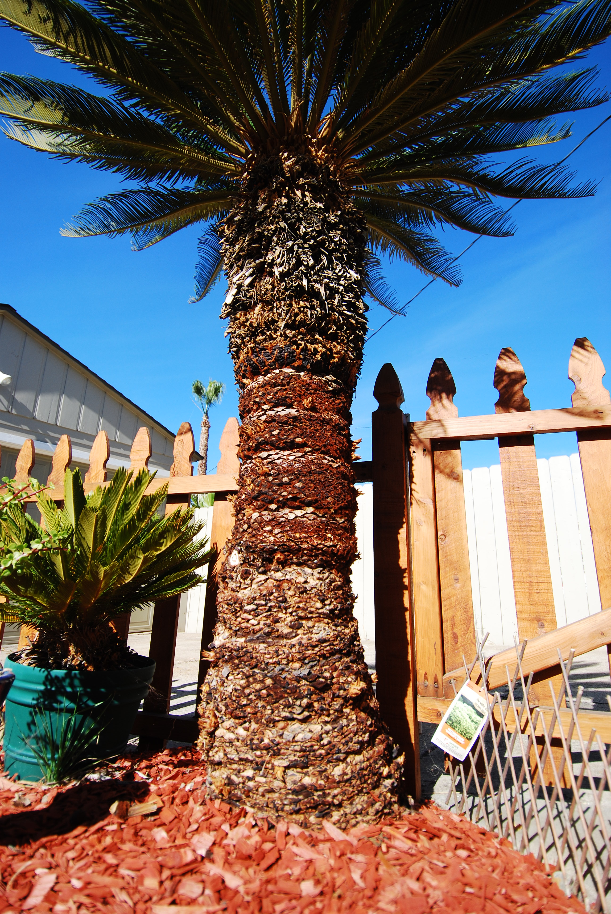 The Sago Palm Ancient Beautiful And Actively Trying To Kill Your