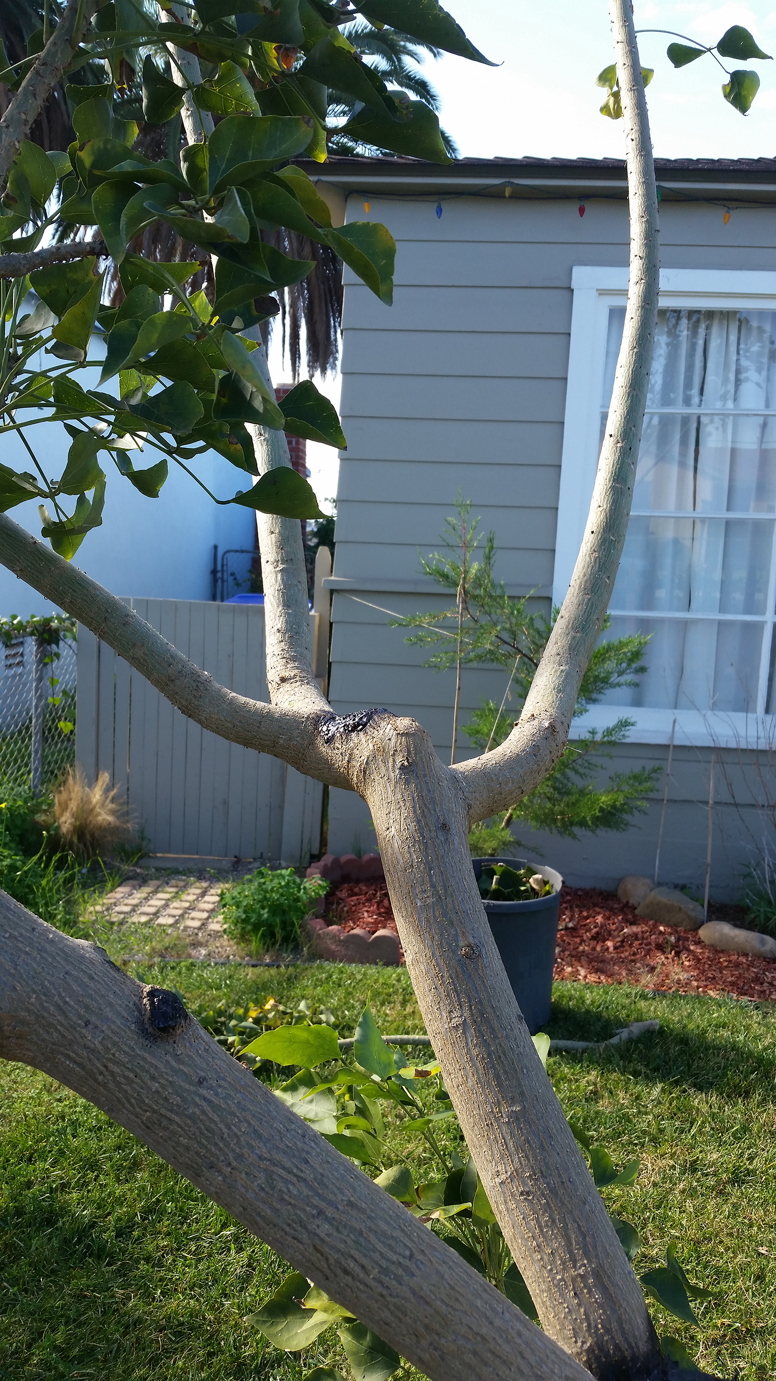 Winter Pruning of the Coastal Coral Tree (Erythrina caffra