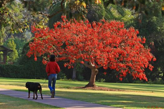Erythrina Caffra (Coastal Coral) Tree in full bloom. Via
