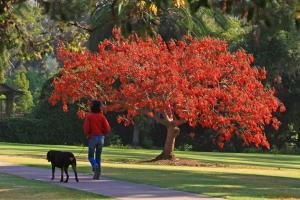 Erythrina Caffra (Coastal Coral) Tree in full bloom. Via https://classconnection.s3.amazonaws.com/322/flashcards/878322/jpg/coral-tree-and-dog-blog1321849492544.jpg