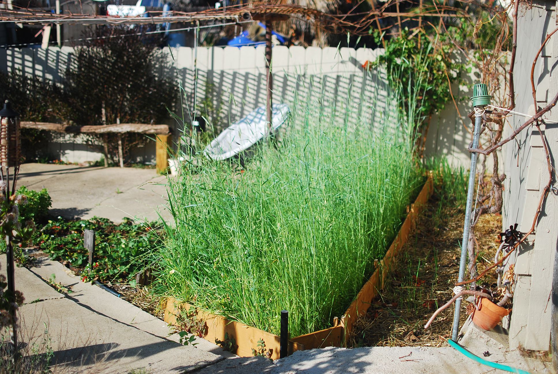 the winter cover crop part ii green manure mind your dirt