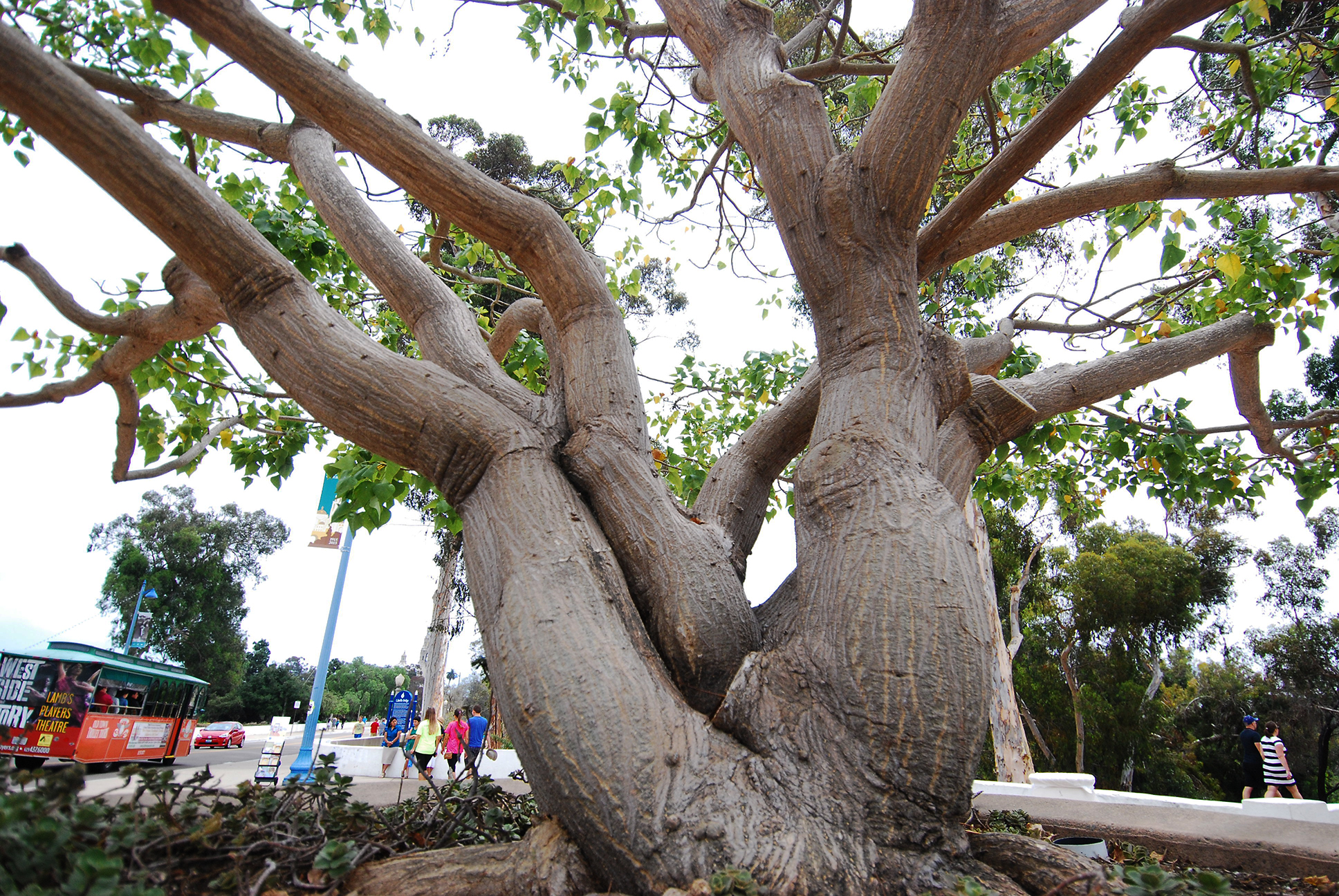 How to Propagate a Coastal Coral Tree (Erythrina Caffra ...
