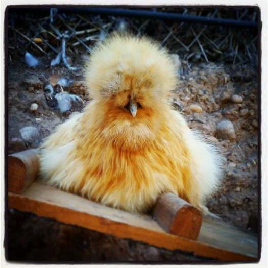 Piper the Silkie