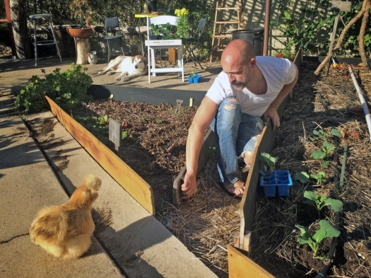 Thanksgiving 2015_01_Feature Image_Planting the winter crops with chicken and dog