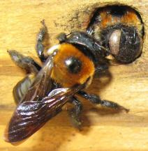 Carpenter bees preparing their nest. Via http://bugguide.net/node/view/244180